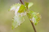 Heilpflanze Birkenblätter