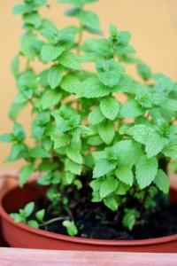 Heilpflanze Pfefferminz