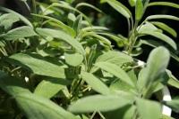 Heilpflanze Salbeiblätter